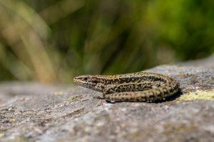 A male common lizard